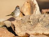 Green-Tailed Towhee (Pipilo Chlorurus), Arizona, USA Photographic Print by Mary Ann McDonald