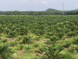 Deforestation Rainforest Area with a Young Oil Palm Planting, Sabah, Borneo, Malaysia Photographic Print by Thomas Marent
