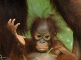 Bornean Orangutan Baby (Pongo Pygmaeus), Camp Leaky, Tanjung Puting National Park, Kalimantan Photographic Print by Thomas Marent
