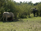 African Lion (Panthera Leo) in a Standoff with an African Buffalo Photographic Print by Joe McDonald