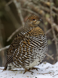 Female Spruce Grouse (Falcipennis Canadensis), Maine, USA Photographic Print by Garth McElroy
