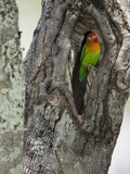 Fischer&#39;s Lovebird in its Nest Hole in a Tree Trunk (Agapornius Fischeri) Seregenti, Tanzania Photographie par Mary Ann McDonald