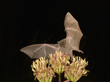 Lesser Long-Nosed Bat (Leptonycteris Curasoae) Feeding at Agave Palmeri Flowers Photographic Print by Charles Melton