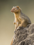 Dwarf Mongoose (Helogale Parvula) Sitting Near Colony Nesting Site, Masai Mara, Kenya Photographic Print by Joe McDonald