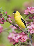 Male American Goldfinch (Carduelis Tristis) in Crabapple Blossoms Photographic Print by Steve Maslowski