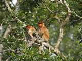 Proboscis Monkeys (Nasalis Larvatus), Sabah, Borneo, Malaysia Photographic Print by Thomas Marent