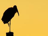 Wood Stork (Mycteria Americana), Florida, USA Photographic Print by Arthur Morris
