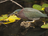 Striated Heron (Butorides Striatus) Catching Fish, Everglades National Park, Florida, USA Photographic Print by Joe McDonald