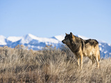 Gray Wolf (Canis Lupus) Hunting, Wyoming, USA Photographic Print by Joe McDonald