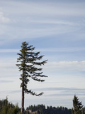Pine Tree Shaped by Wind, Cascade Mountains, Oregon, USA Photographic Print by Marli Miller