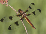 Female Twelve-Spot Skimmer Perched on a Branch (Libellula Pulchella) Photographic Print by Mark Plonsky
