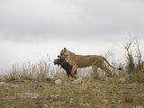 African Lion (Panthera Leo) Carrying a Warthog Carcass in its Mouth, Masai Mara, Kenya Photographic Print by Joe McDonald