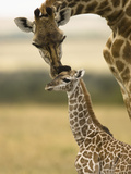 Masai Giraffe (Giraffa Camelopardalis) Grooming its Young, Masai Mara, Kenya Photographic Print by Joe McDonald