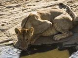 African Lion Drinking from a Waterhole Pool (Panthera Leo), Masai Mara, Kenya Photographic Print by Joe McDonald