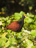 Northern Jacana (Jacana Spinosa), Tortuguero, Costa Rica Photographie par Mary Ann McDonald