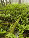 Ferns on the Forest Floor, Pennsylvania, USA Photographic Print by Joe McDonald