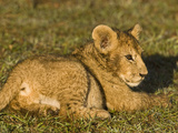 African Lion (Panthera Leo) Cub Resting, Masai Mara, Kenya Photographic Print by Joe McDonald