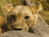 Lioness (Panthera Leo) with Prey, Masai Mara Game Reserve, Kenya, Africa Photographic Print by Joe McDonald