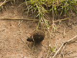 Dung Beetle Rolling a Dung Ball with its Hind Legs, Masai Mara Game Reserve, Kenya, Africa Photographic Print by Joe McDonald