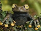 Linda's Treefrog (Hyloscirtus Lindae), Coln, Depart, Putumayo, Colombia Photographic Print by Thomas Marent
