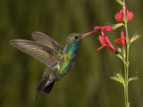 Broad-Billed Hummingbird Male (Cynanthus Latirostris) Feeding at a Sage Flower (Salvia Greggii) Fotografisk tryk af Charles Melton