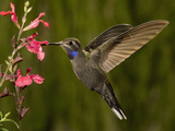Blue-Throated Hummingbird Male (Lampornis Clemenciae) Feeding at an Autumn Sage Flower Photographie par Charles Melton