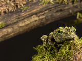 Vietnamese Mossy Frog (Theloderma Corticale), Vietnam, Captivity Photographic Print by Joe McDonald