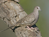Inca Dove (Columbina Inca), Southwestern North America Photographic Print by Arthur Morris