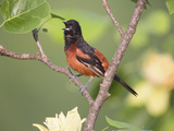 Orchard Oriole (Icterus Spurius) Singing in Tulip Tree Photographic Print by Steve Maslowski