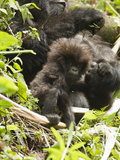 Female Mountain Gorilla (Gorilla Beringei Beringei) with Young in Day Nest Resting Photographic Print by Joe McDonald
