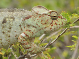 Giant Madagascar or Oustalet's Chameleon Female Animal (Furcifer Oustaleti) Photographic Print by Thomas Marent