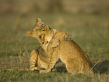 African Lion Cubs Playing (Panthera Leo), Masai Mara, Kenya Photographic Print by Joe McDonald