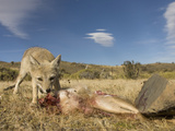 South American Gray Fox (Pseudalopex Griseus) Eating Rabbit Kill, Patagonia, Chile Photographic Print by Joe McDonald