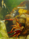 A Red Swamp Crayfish (Procambarus Clarcki) Hiding in a Rusty Can Photographic Print by Fabio Pupin