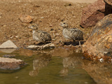 Gambel's Quail Chicks at a Waterhole (Callipepla Gambelii), Arizona, USA Photographic Print by Mary Ann McDonald