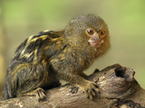 Pygmy Marmoset (Callithrix Pygmaea), Amazon Forest, Leticia, Colombia Photographic Print by Thomas Marent
