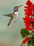Calliope Hummingbird (Stellula Calliope) Male Flying Papier Photo par Jack Milchanowski