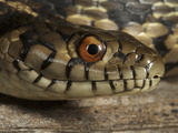 Sierra Garter Snake Head (Thamnophis Couchi Couchi), El Dorado County, California, USA Photographic Print by Gerold & Cynthia Merker