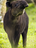 The Baird&#39;s Tapir (Tapirus Bairdii) Is an Animal That Is Nearing Extinction, Costa Rica Photographie par Joe McDonald