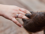 Orangutan Hand Holding a Human Hand (Pongo Pygmaeus) Tanjung Puting National Park, Kalimantan Photographic Print by Paul & Paveena McKenzie