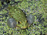 Lake Frog or Marsh Frog Calling (Rana Ridibunda), Switzerland Photographic Print by Thomas Marent