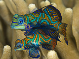 A Pair of Mating Mandarinfish (Synchiropus Splendidus) Coral Triangle Photographic Print by Marty Snyderman