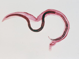 Male and Female Human Blood Flukes in Copulation (Schistosoma Mansoni), LM Photographic Print by Charles Stratton