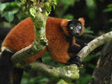 Red Ruffed Lemur (Varecia Variegata Ruber), Masoala, Madagascar Photographic Print by Thomas Marent
