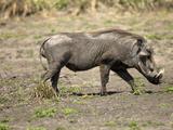 Warthog (Phacochoerus Africanus), Mara Triangle, Masai Mara Game Reserve, Kenya Photographic Print by Joe McDonald