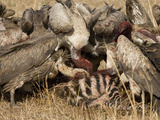 White-Backed Vultures Scavenging on a Zebra Kill, Gyps Africanus, East Africa Photographic Print by Joe McDonald