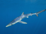 Blue Shark (Prionace Glauca) Swimming Off of San Diego, California, USA Photographic Print by Andy Murch