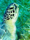 Green Sea Turtle Feeding in Seagrass Beds, Red Sea, Egypt Photographic Print by Louise Murray