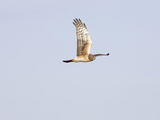 Northern Harrier Hawk (Circus Cyaneus), Montana, USA Photographic Print by Neal Mischler