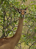 Female Gerenuk (Litocranius Walleri) Foraging for Food, Samburu Game Reserve, Kenya, Africa Photographic Print by Mary Ann McDonald